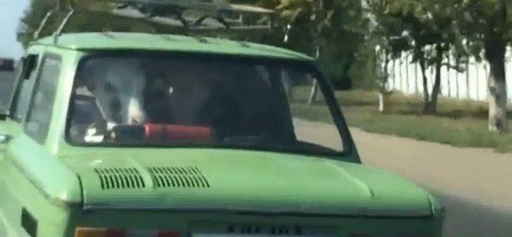 une vache dans une Lada